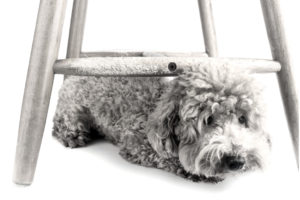 Dog chewes on chair